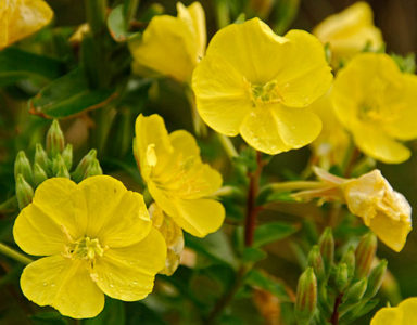 evening primrose oil facts benefits michaels products